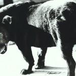 """""""Stray Dog"""" by Daido Moriyama, Misawa, Aomori, 1971"""