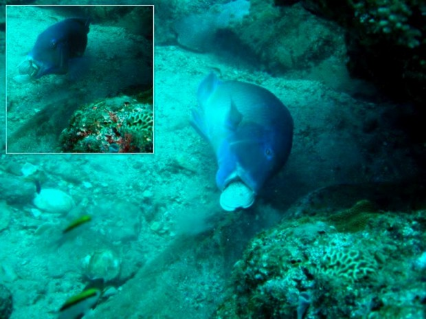 A blackspot tuskfish banging a clam against a rock to crack it open. Credit: Scott Gardner, 2011