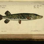 Esox lucius / Der Hetch / Le Brochet / The Pike, Marcus Elieser Bloch, 1783