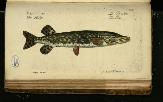 Northern pike illustration for Marcus Elieser Bloch's Ökonomische Naturgeschichte der Fische Deutschlands [Tome 1]