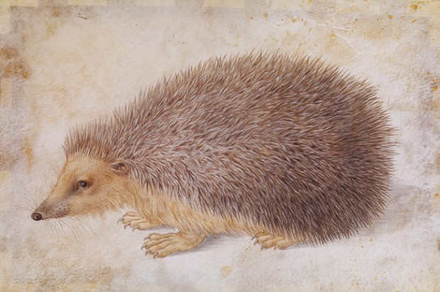 """""""A Hedgehog"""" by Hans Hoffmann, watercolor and gouache on parchment, 7 7/8"""" x 11 3/4"""", before 1584"""