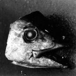 Untitled (Fish Head) by Daido Moriyama (1978)