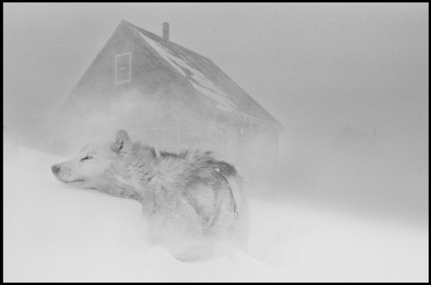 """Dog in the blizzard"" by Ragnar Axelsson a.k.a. RAX, from the series Greenland, 2004. © Ragnar Axelsson. Used with permission."