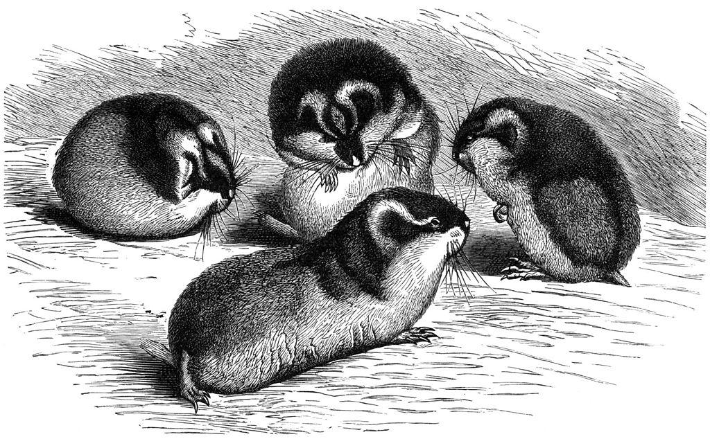Drawing of Norway lemmings